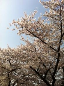 エンジェルスタイルのブログ-sakura2